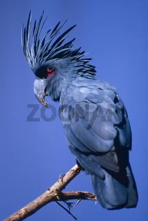 palm cockatoo,  arakakadu, palmkakadu, probosciger aterrimus