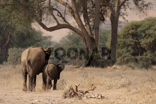 Wüstenelefanten in Namibia; Desert Elephants in Namibia