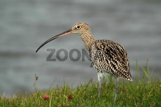 Grosser Brachvogel, Numenius arquata, Curlew,  Texel, Niederlande, Netherlands