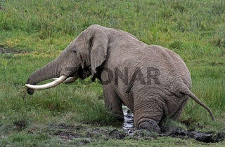 Elefant im Schlamm, Elephant in the Mud, wildlife