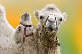 Trampeltier Camelus B. bactrianus