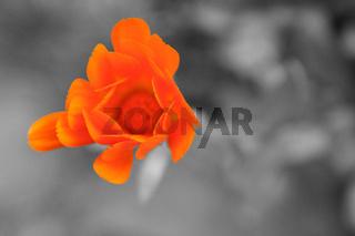 Blume ( s/w)