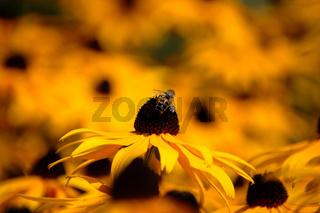 schwebfliege auf nektarsuche