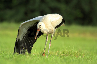 morgendlicher Storch 2