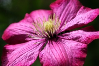 Clematisblüte, bloom of a clematis