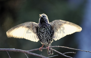 Star, European Starling, Sturnus vulgaris