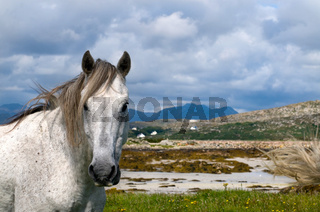 Connemara Pony  - Connemara pony
