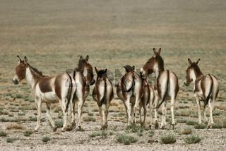 Kiang, Tibetan wild ass, Tibetischer Wildesel Equus kiang