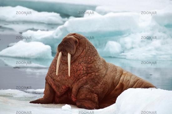 walrus, walross, Odobenus rosmarus, Spitzberge, Svalbard, spitzbergen, scandinavia, north europe, arctic, arctical, arktis, nordpolarmeer