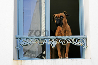 Hund am Fenster
