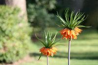 Fritillaria Imperialis | Kaiserkrone