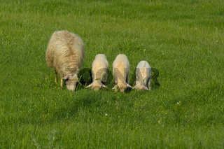 Schafe auf der Wiese - Sheep on a meadow