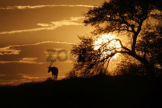 Gemsbock, Gemsbok, Spiessbock-Antilope, Suedafrika, South Africa