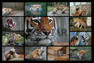 Tigerkarte