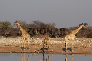 Giraffen (Giraffa camelopardis); Giraffes