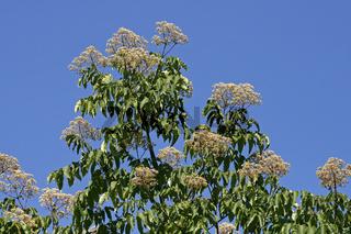 Euodia hupehensis, Tetradium hupehensis, Tetradium daniellii, Bienenbaum