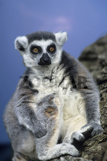 katta, lemur catta, ring-tailed lemur