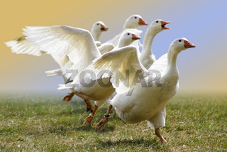 Hausgans, Hausgaense, Domestic Goose