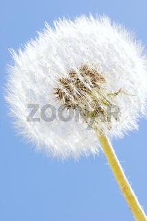 blowball, pusteblume, clock, dandelion, gewoehnlicher loewenzahn, taraxacum sect ruderalia