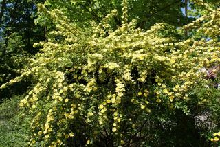 Rosa hugonis, Chinesische Goldrose