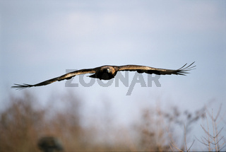 Steinadler, Golden Eagle, Aquila chrysaetos
