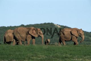 Afrikanischer Elefant mit Jungen (Steppenelefant), African Elephant with calf, Loxodonta africana, Addo-Elephant National Park, Suedafrika, South Africa