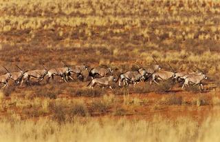 Oryx Antilopen in der trockenen Savanne Namibias