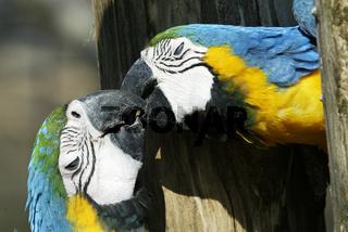 gelbbrustara, ara ararauna, blue-and-yellow macawgelbbrustara, ara ararauna, blue-and-yellow macaw