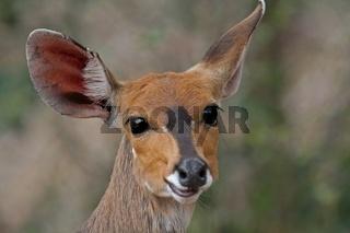 Impala-Weibchen, wildlife