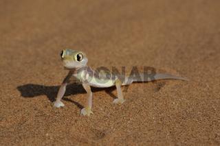 Palmatogecko (Pachydactylus rangei)