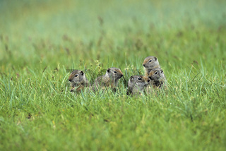 Kalifornischer Ziesel, Uinta Ground Squirrel, Citellus armatus, Babies, Yellowstone NP, USA unita-ziesel, kalifornischer ziesel, spermophilus armatus, uinta ground squirrel
