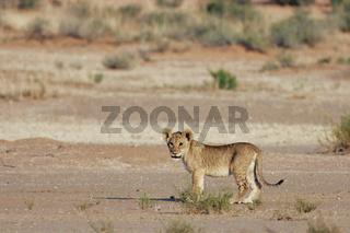 Junger Löwe, Südafrika, Kalahari