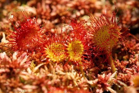 Rundblättriger Sonnentau, Drosera rotundifolia