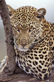Leopard, female, Panthera pardus, Masai Mara, Kenya, kenia