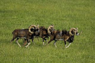 Mufflonwidder, Ovis ammon, Ovis orientalis, Mouflon ram, Bayern, Bavaria, Deutschland, Germany