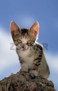 Young Cat with blue sky, Junge Katze vor blauem Hintergrund