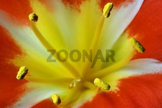riemenblatt, klivie, clivia miniata, bush lily blume, flower