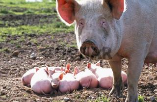 Domestic Pig / Hausschwein