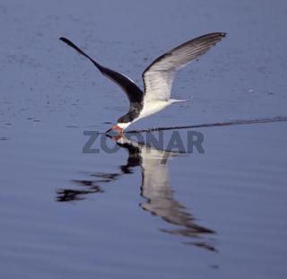 schwarzmantel-scherenschnabel, rynchops niger, black skimmer