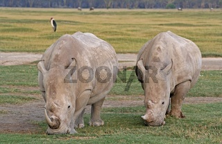 Nashörner, Nakuru Nationalpark Kenia, wildlife