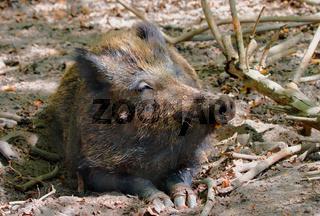Wildschwein, Keiler 'Sus scrofa'