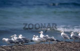 weisskopfmoewe, larus cachinnans, caspian gull