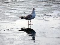 Lachmöwe am Eis