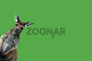 Westliches Graues Riesenkaenguru, western gray kangaroo