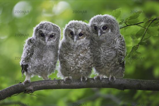 Waldkauz, Tawny Owl, Strix aluco, Deutschland, Germany, Europa, Europe
