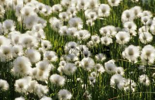 cotton grass, Wollgras, Eriophorum spec., Gaellivare,  lapland, sweden, Lappland, Schweden