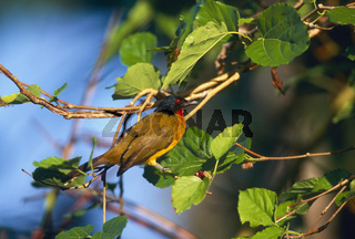goldbrustbuelbuel, pycnonotus flaviventris, black-crested bulbul