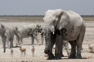 Elefant (Loxodonta africana); Elephant