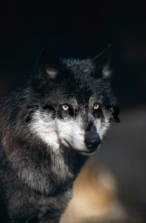 Timberwolf, Amerikanischer Grauwolf, Canis lupus lycaon, Gray wolf, Eastern Timber Wolf, Alaska, USA