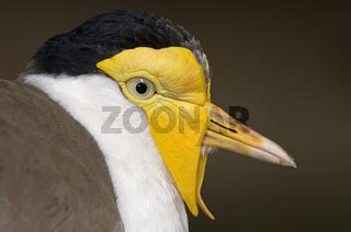 maskenkiebitz, vanellus miles, masked lapwing